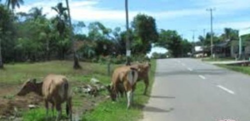 Sat Pol-PP dan Damkar Mukomuko Himbau Pemudik Waspadai Ternak Berkeliaran di Jalan (Fhoto Ant)